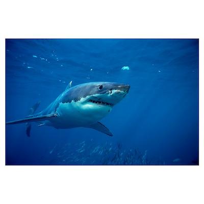 Great White Shark swimming underwater Poster