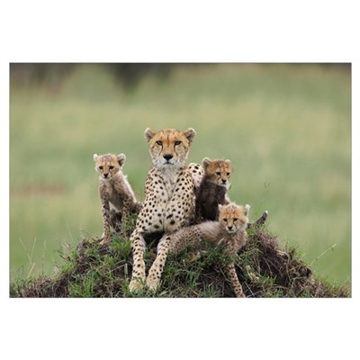Cheetah mother and eight to nine week old cubs Canvas Art