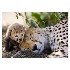 Cheetah mother and seven day old cub Canvas Art