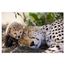 Cheetah mother and seven day old cub Poster