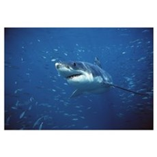 Great White Shark swimming through a school of fis Canvas Art
