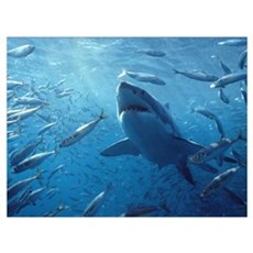 Great White Shark with schooling fish Poster