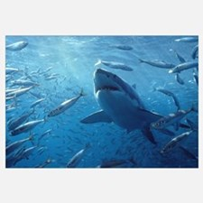 Great White Shark with schooling fish
