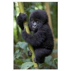 Mountain Gorilla 10 month old infant Poster