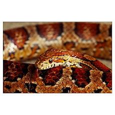 Calilfornia Corn Snake (Elaphe Guttata) Poster