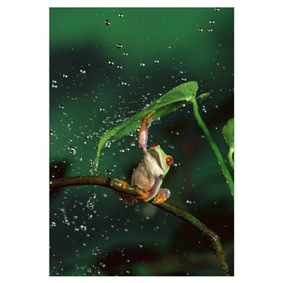 Red-eyed Tree Frog in rain Canvas Art