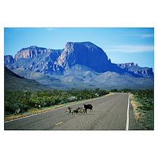 Javelina Animals Crossing Road