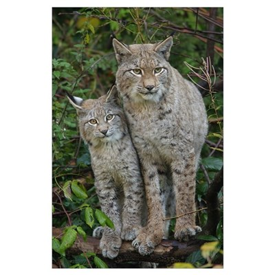 Mother with cub on a fallen tree Poster