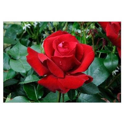 Rose (Rosa sp) ingrid bergman variety flower Canvas Art