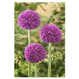 Allium Wrapped Canvas Art