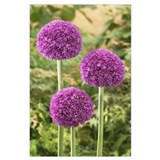 Allium Framed Prints