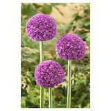 Allium Posters