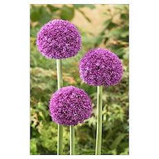 Onion (Allium sp) ambassador variety flowers Poster