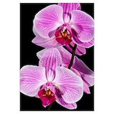 Orchid (Phalaenopsis sp) flowering, Beveren-Waas,