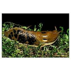 Banana Slug (Ariolimax Columbianus) On Moss Poster