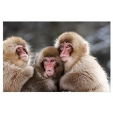 Three Japanese Macaque babies warming each other Poster