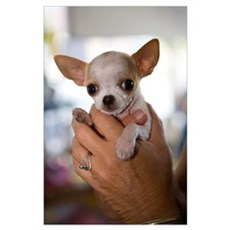 Hands Holding Chihuahua Puppy Poster