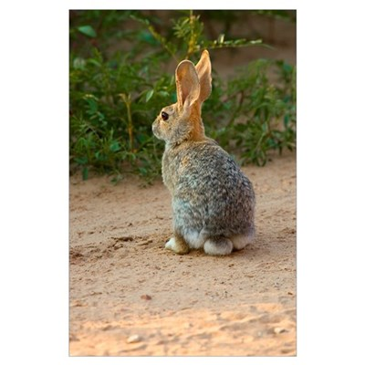 Rear View Of Desert Cottontail Rabbit Poster