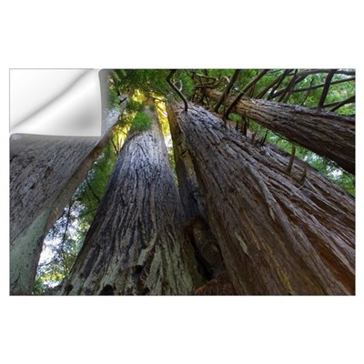Low-Angle View Of Redwood Trees Wall Decal