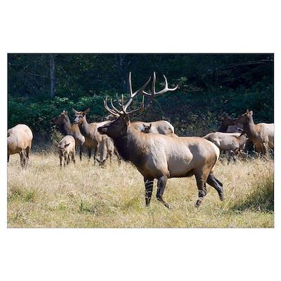 Roosevelt Bull Elk With Herd Poster
