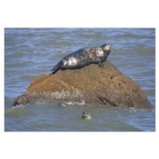 Seal On Rock In Water Framed Print
