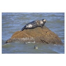 Seal On Rock In Water Poster