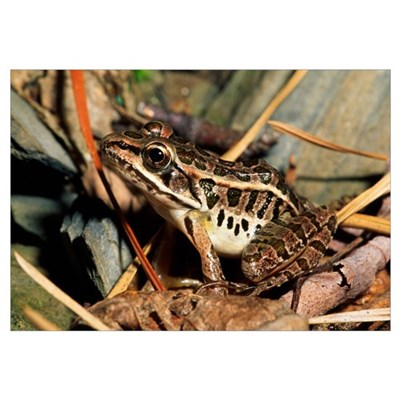 Pickerel Frog In Leaf Litter Canvas Art