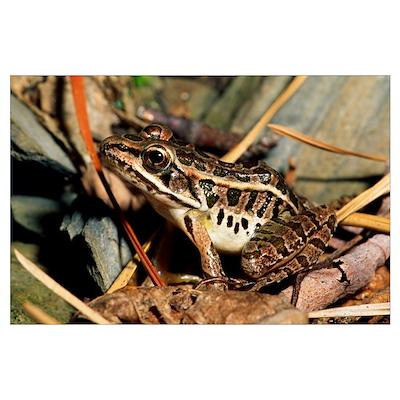 Pickerel Frog In Leaf Litter Poster