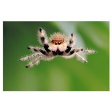 Regal Jumping Spider Poster