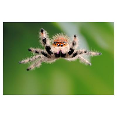 Regal Jumping Spider Poster