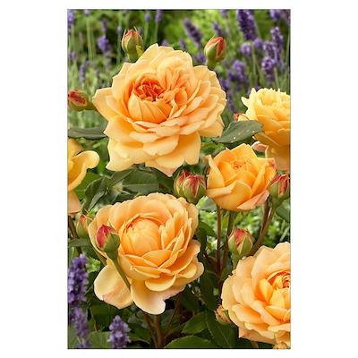 Rose (Rosa sp) golden celebration variety flowers Poster