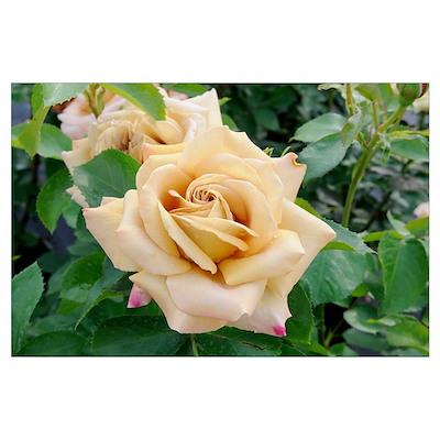 Rose (Rosa sp) honey dijon variety flowers Poster