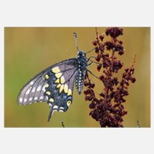 Black Swallowtail Butterfly (Papilio Polyxenes) On