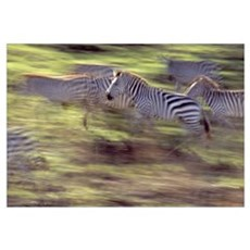 Herd of zebras running, blurred motion, Serengeti Poster