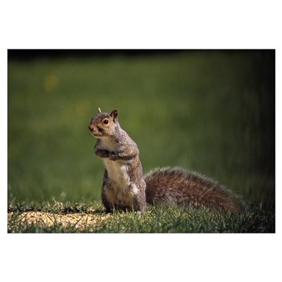 Gray squirrel standing up, selective focus. Poster