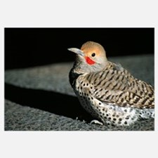 Profile of male northern flicker bird (Colaptes au