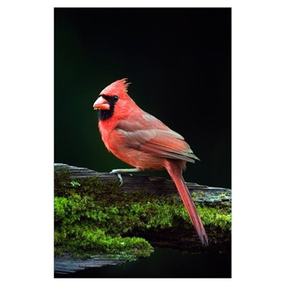 Male northern cardinal (Cardinalis cardinalis) on Poster