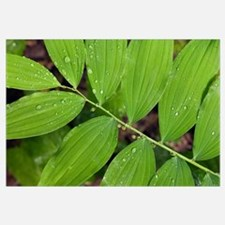Water droplets on smooth solomon's seal leaves (Po