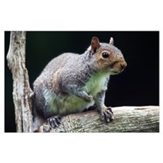 Eastern gray squirrel (Sciurus caroliniensis) on l Poster