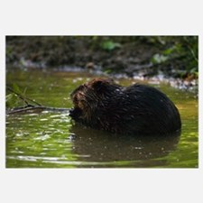 Side view of american beaver (Castor canadensis) g