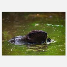 American beaver (Castor canadensis) swimming in po