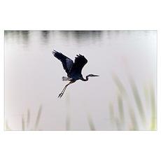 Back lit great blue heron (Ardea herodias) flying Poster