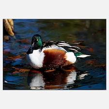 Northern shoveler duck on water, Ohio