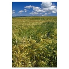 Wheat fields, blue sky, Scotland.