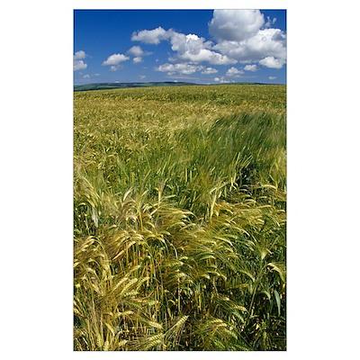 Wheat fields, blue sky, Scotland. Poster