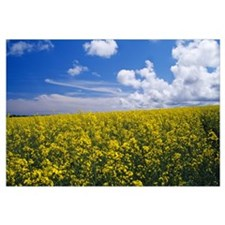 Field of oilseed rape or canola in bloom, England.