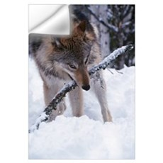 Gray wolf with stick in mouth, winter, Montana Wall Decal