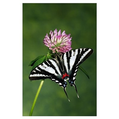 Zebra swallowtail butterfly on clover flower bloss Poster