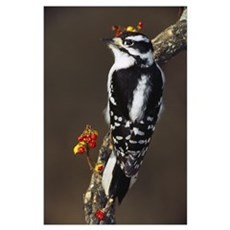 Downy woodpecker on tree branch with berries, Mich Poster