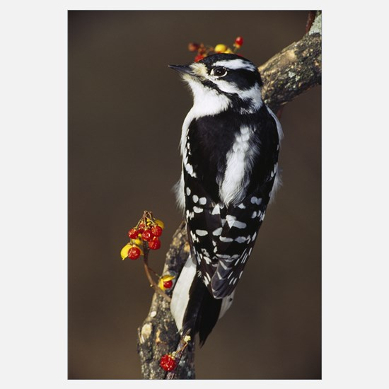 Downy woodpecker on tree branch with berries, Mich